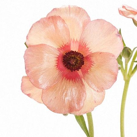 Anemone Marianne Peach