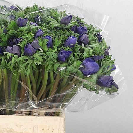 Anemone Meron Blue