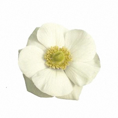 Anemone Bianco Plus