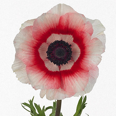 Anemone Bi-color Intense