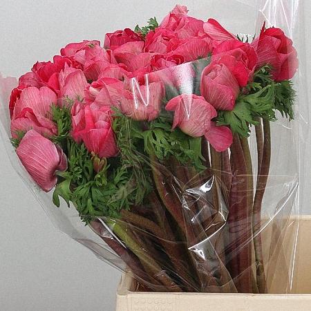 Anemone Mistral Pink