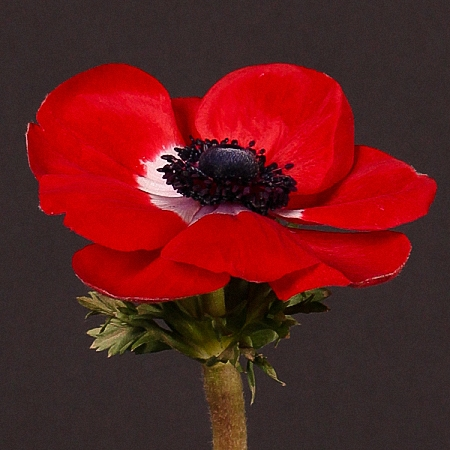 Anemone Mistral Red