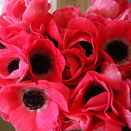 Anemone Shoking Pink