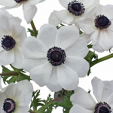 Anemone Mistral White