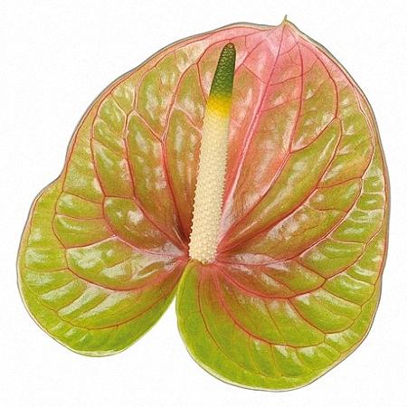 Anthurium Lucardi