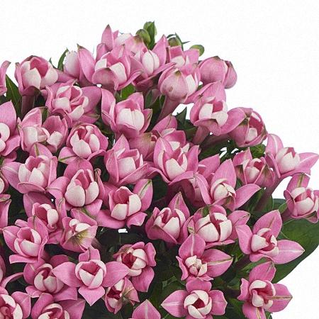 Bouvardia Dark Pink