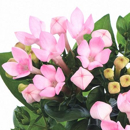 Bouvardia Light Pink