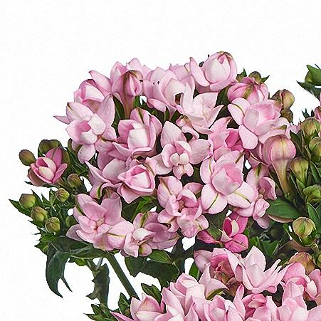 Bouvardia Pink Star