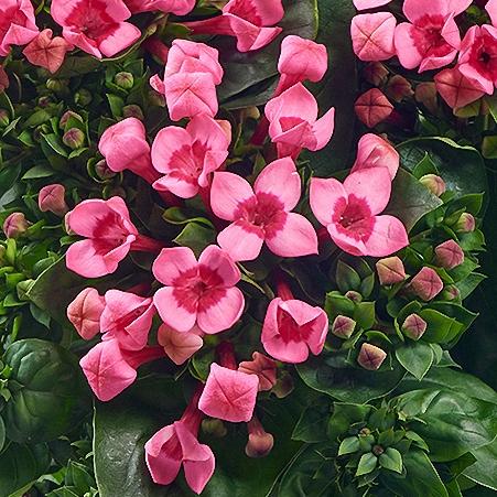 Bouvardia Majestic Ht Pink