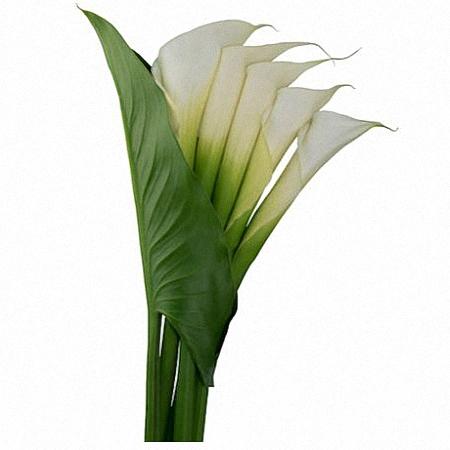 White Open Cut Calla Lily p8