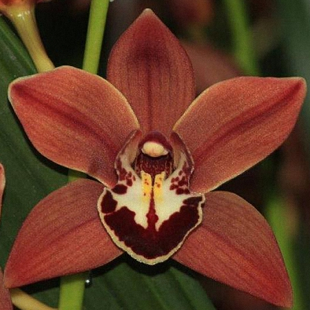 Mini Cymbidium Brownie