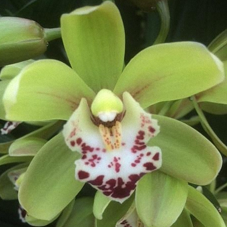 Mini Cymbidium Camelfort