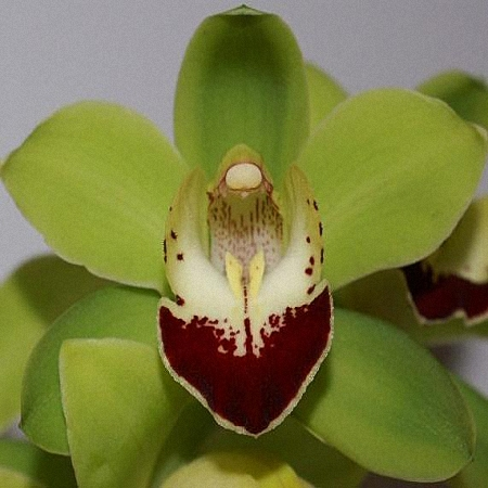 Mini Cymbidium Emerald