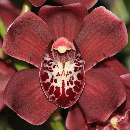 Mini Cymbidium Howard Robin