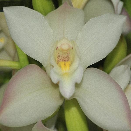 Mini Cymbidium Joshua