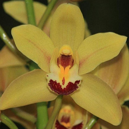 Mini Cymbidium Mary Princess