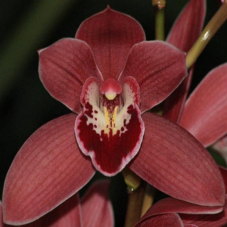 Mini Cymbidium Red Star