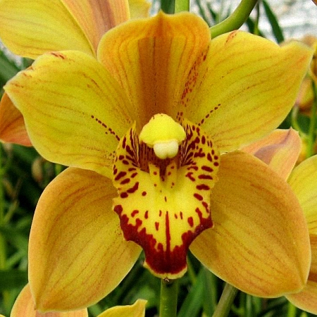 Mini Cymbidium Shiningflor
