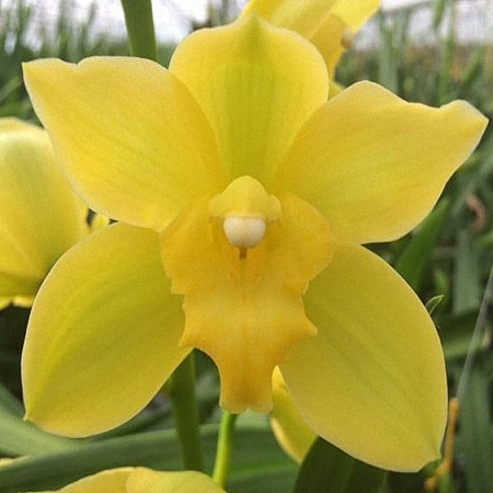 Mini Cymbidium Shiny Yellow
