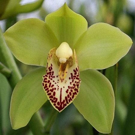 Mini Cymbidium Siette