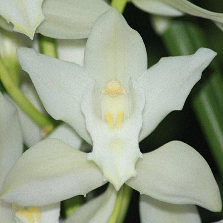 Mini Cymbidium Snow Blossom