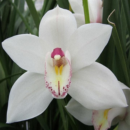 Mini Cymbidium White Fair