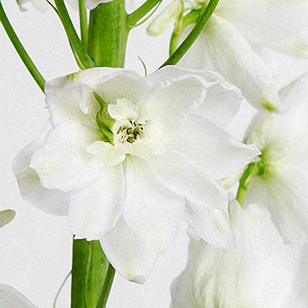 Delphinium Ariel White