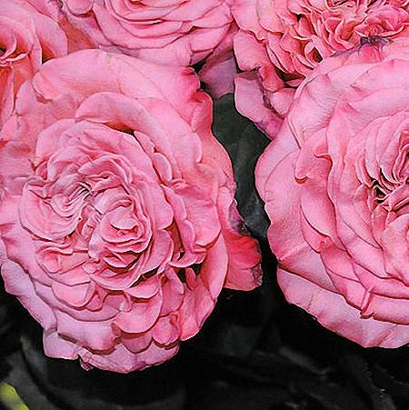 Garden Rose Ashley