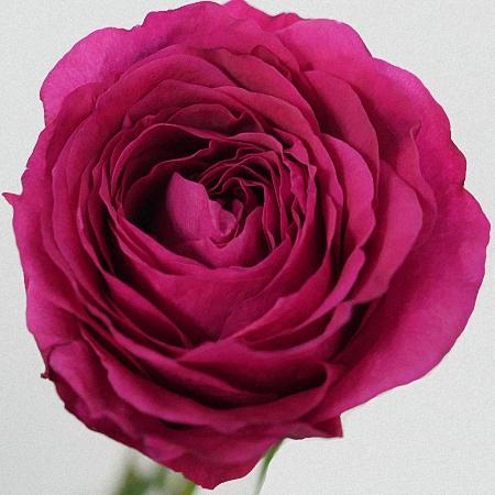 Garden Rose Capability DA