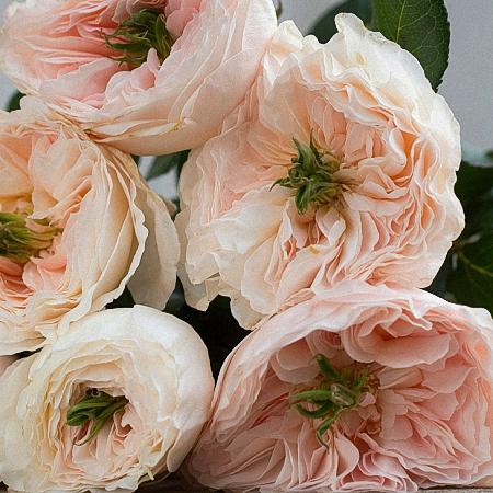 Garden Rose Charity DA