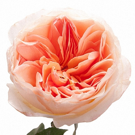 Garden Rose Juliet DA