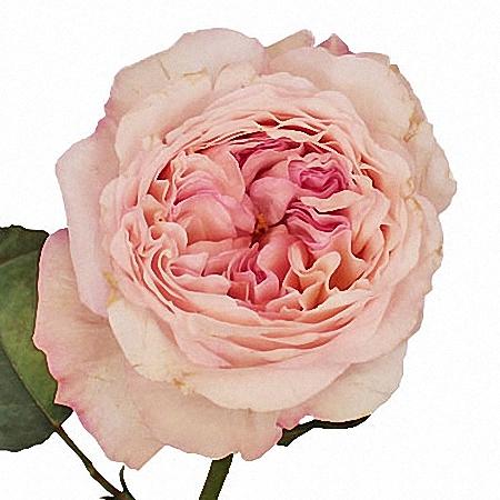 Garden Rose Keira DA