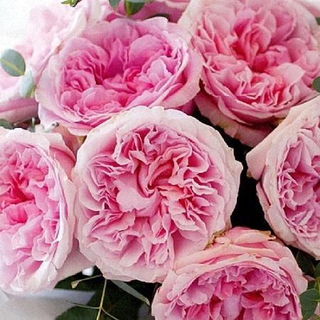 Garden Rose Miranda DA