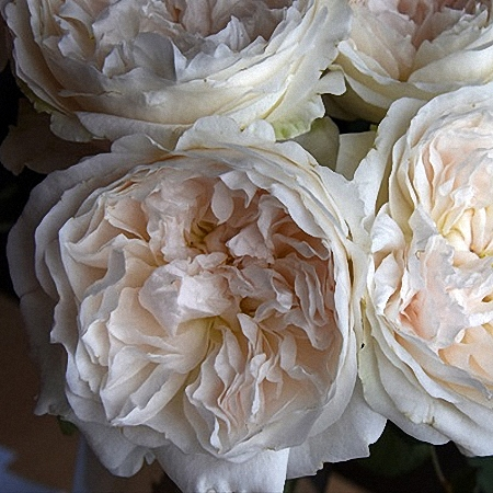 Garden Rose Purity DA