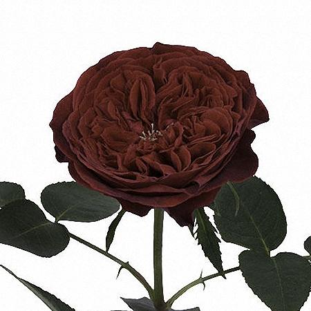 Garden Rose Tess DA