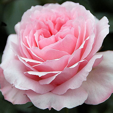 Garden Rose Mayra\'s Rose