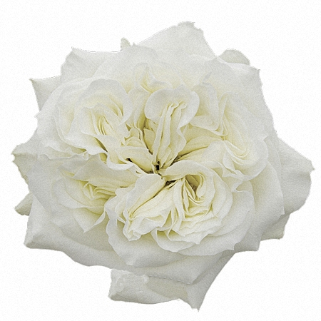 Garden Rose Mayra\'s White