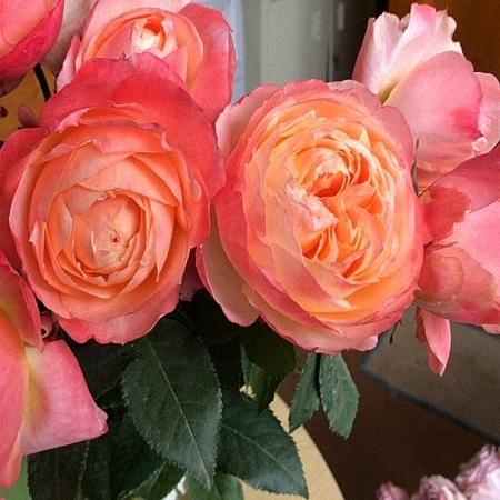 Garden Rose Princess Aiko