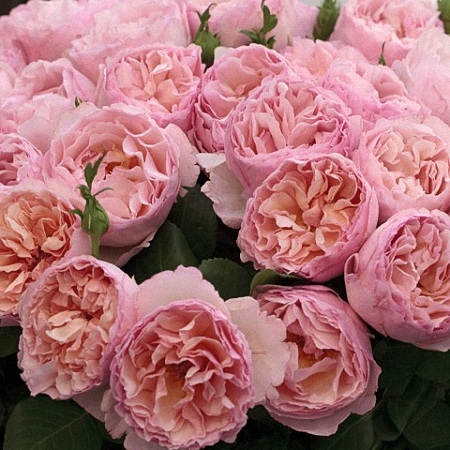 Garden Rose Princess Charlene