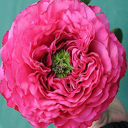 Garden Rose Princess Kishi