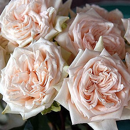 Garden Rose Princess Maya