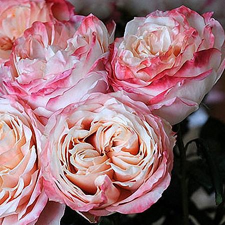 Garden Rose Princess Sakura
