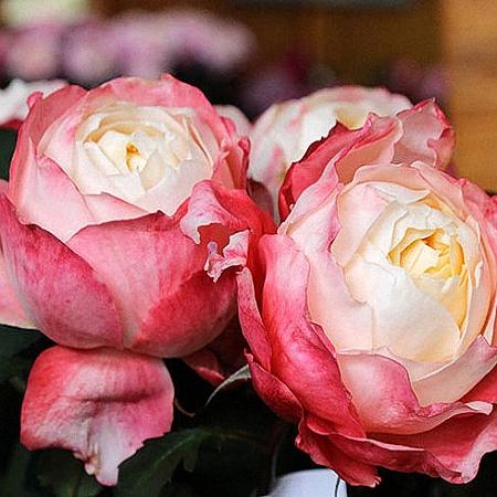 Garden Rose Princess Suki