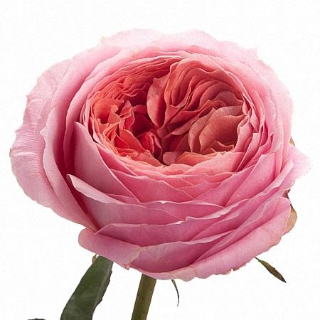 Garden Rose Romantic Antike