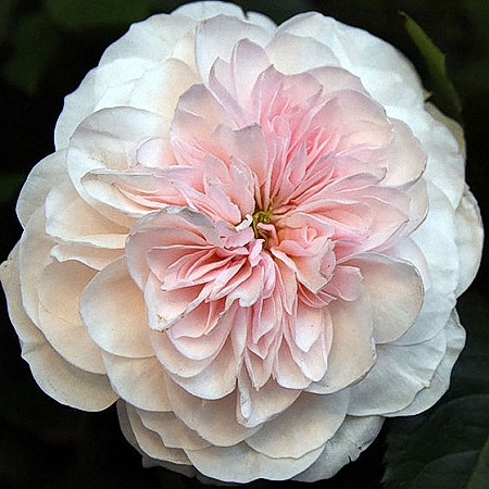 Garden Rose Sabrina
