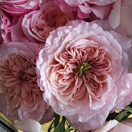 Garden Rose Wabara Miyabi