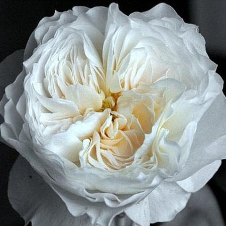Garden Rose White Cloud