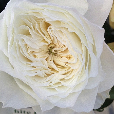 Garden Rose White Cloud