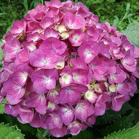 Hydrangea Jumbo Purple