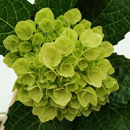 Hydrangea Mini Lime Green